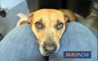 Maui Now: Maui Humane Society Hopes to Clear the Shelter Aug. 23-29