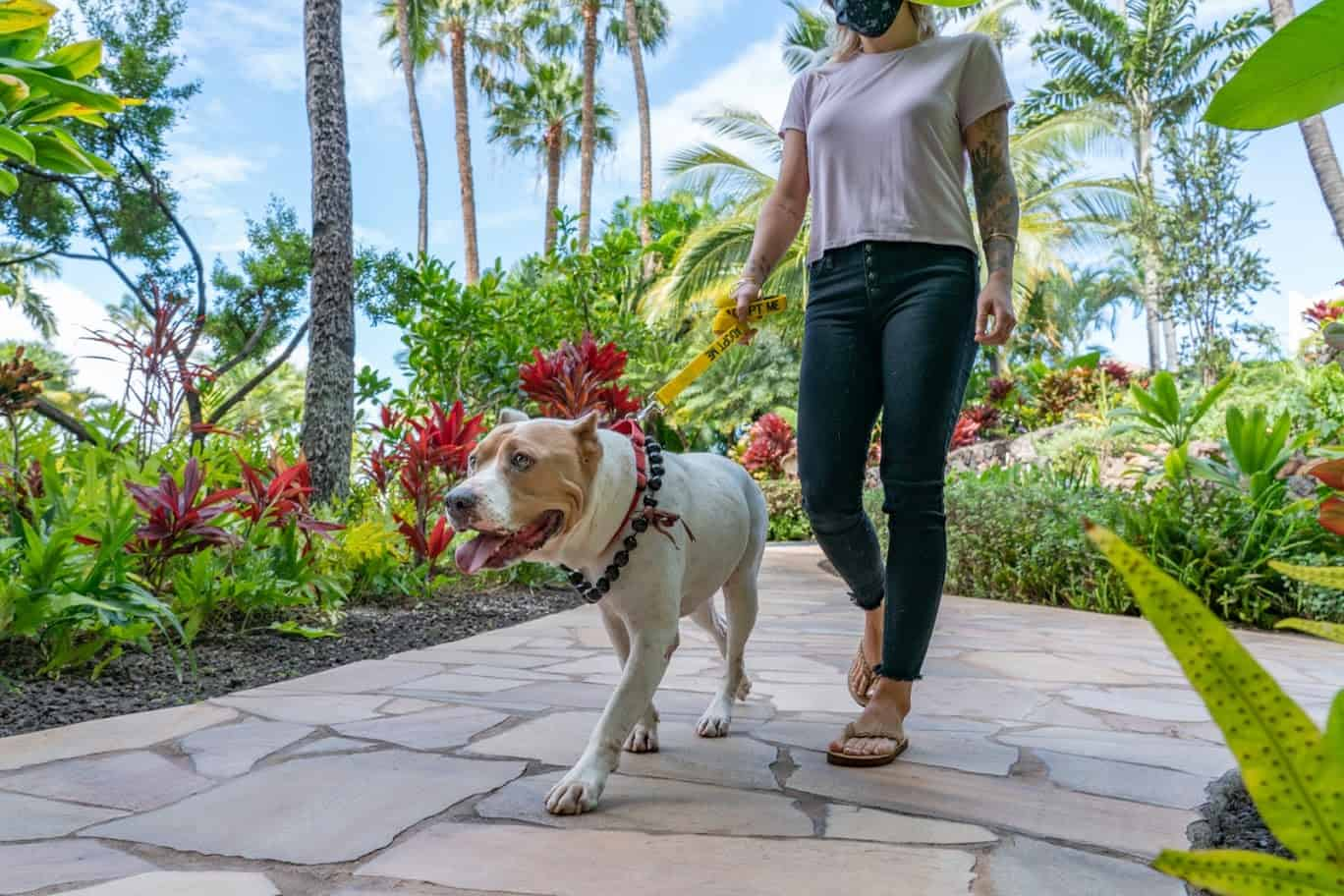 Pit mix dog walks with a model through a tropical environment at a luxury Maui resort