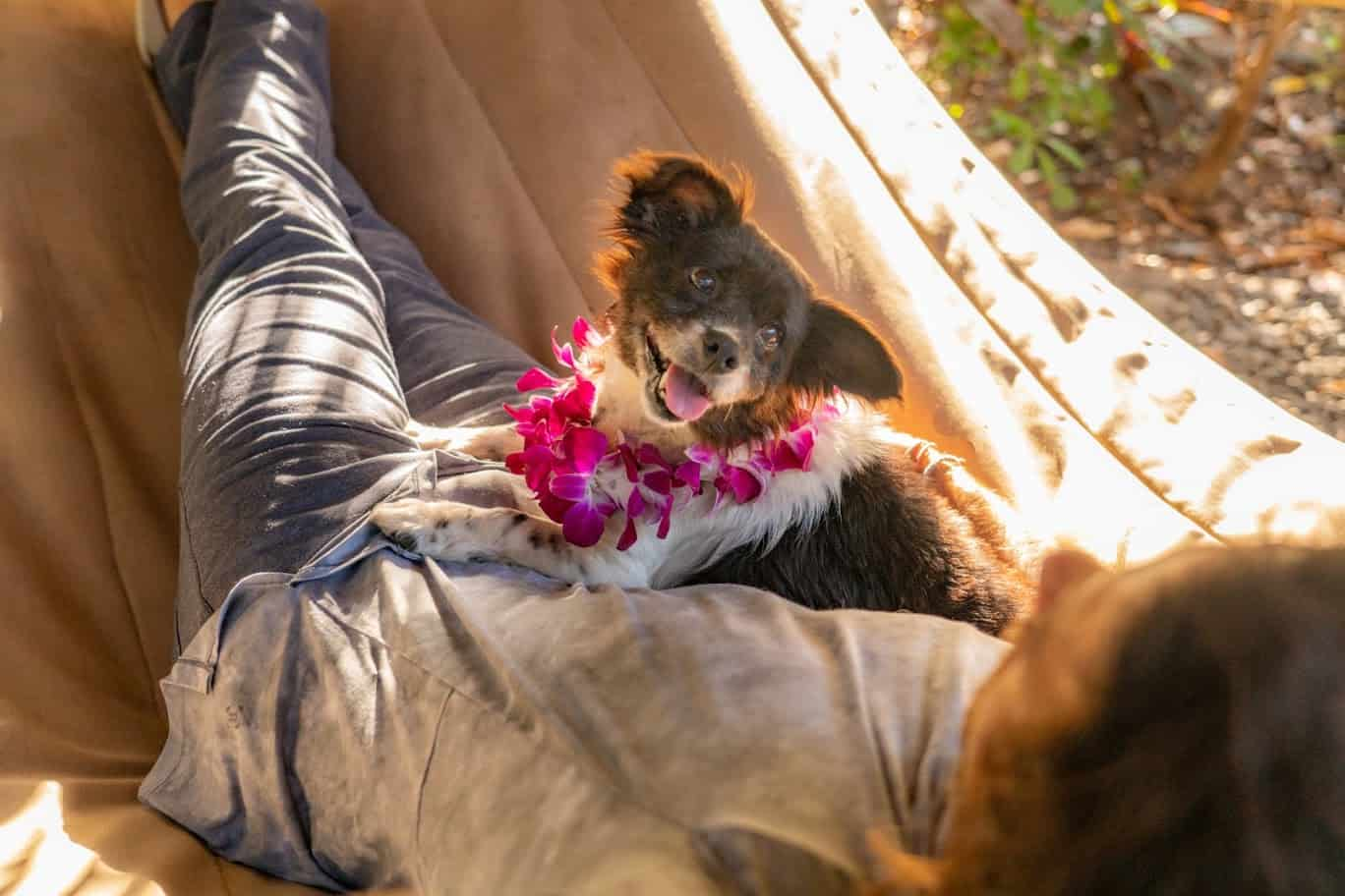 A small black and white dog wearing a pink lei relaxes in a hammock with a model