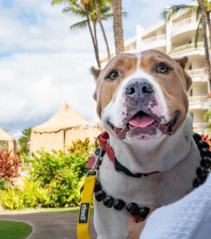 Cute pit mix dog relaxing at a luxury hotel in Hawaii with palm trees in the background.